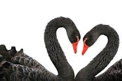 Cygnes noirs photo libre de droits