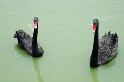Cygnes noirs Photos libres de droits