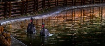 Cygnes noirs Photographie stock libre de droits
