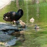 Cygnes noirs avec leurs poussins image stock