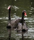 Cygnes noirs chez le lac et l'Iris Gardens swan Photos libres de droits