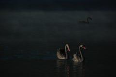 Cygnes noirs de couples Photographie stock