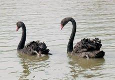 Cygnes noirs de couples nageant Photographie stock libre de droits