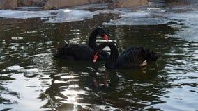 Cygnes noirs l'hiver Photographie stock libre de droits