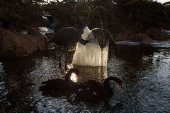 Cygnes noirs l'hiver Images stock