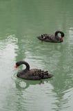 Cygnes noirs nageant Image libre de droits
