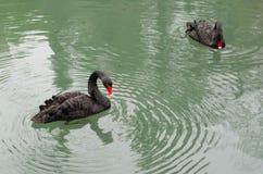 Cygnes noirs nageant Photo libre de droits