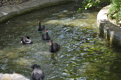 Cygnes noirs sur l'étang Image stock