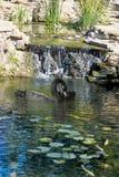 Cygnes noirs sur l'eau Photos libres de droits