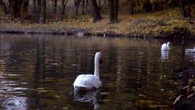 Cygnes, oies sauvages et canards blancs nageant en automne d'étang, plan rapproché banque de vidéos