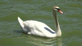 Cygnes, oiseaux, animaux, faune banque de vidéos