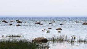 Cygnes près du bord de la mer Photo stock