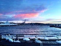 Cygnes roses d'og de troupeau de ciel à la baie photo stock