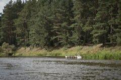 Cygnes sauvages sur la rivière images stock