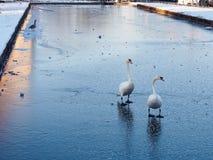 Cygnes sur l'étang congelé Images libres de droits
