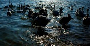Cygnes sur l'eau images stock