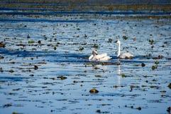 Cygnes sur l'eau Photos libres de droits
