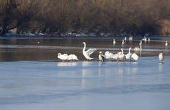 Cygnes sur la côte de rivière Image libre de droits