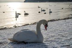 Cygnes sur la plage couverte dans la neige Photographie stock libre de droits