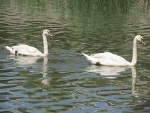 Cygnes sur la rivière Images libres de droits