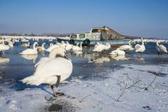 Cygnes sur la rivière congelée Danube Images libres de droits
