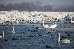 Cygnes sur la rivière congelée Danube Photographie stock libre de droits