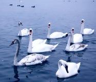 Cygnes sur la rivière Danube Photo stock