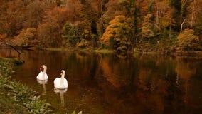 Cygnes sur la rivière tavy Images libres de droits