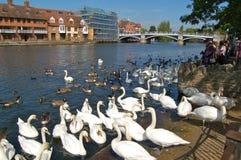 Cygnes sur le fleuve la Tamise chez Windsor, Londres Photo libre de droits