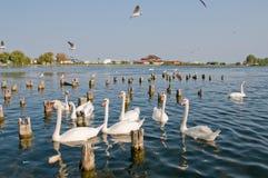 Cygnes sur le lac Photos stock