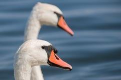 Cygnes sur le lac Image stock