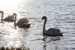 Cygnes sur le lac photographie stock