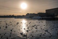 Cygnes sur le lac au milieu de la ville avec le soleil Photographie stock