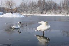 Cygnes sur le lac congelé Photos stock