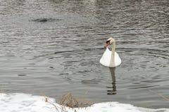 Cygnes sur le lac congelé en hiver Les poissons de crochet d'oiseaux pendant l'hiver Photo stock