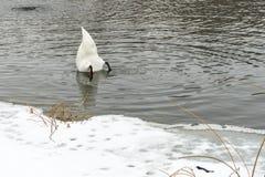 Cygnes sur le lac congelé en hiver Les poissons de crochet d'oiseaux pendant l'hiver Image libre de droits