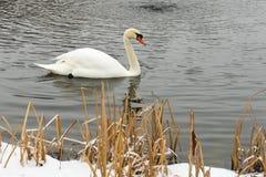 Cygnes sur le lac congelé en hiver Les poissons de crochet d'oiseaux pendant l'hiver Photos libres de droits