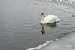Cygnes sur le lac congelé en hiver Les poissons de crochet d'oiseaux pendant l'hiver Photographie stock libre de droits