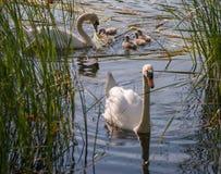 Cygnes sur le lac dans les bosquets du jonc Image libre de droits