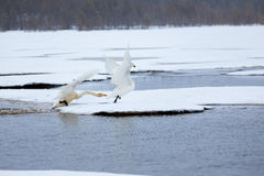 Cygnes sur le lac partiellement congelé Image stock