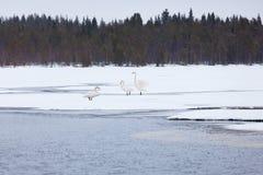 Cygnes sur le lac partiellement congelé Photos stock