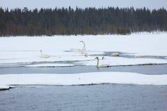 Cygnes sur le lac partiellement congelé Photo stock