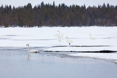 Cygnes sur le lac partiellement congelé Photos libres de droits