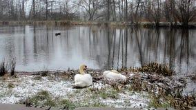 Cygnes sur un étang banque de vidéos