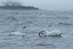 Cygnes sur un lac Photos stock