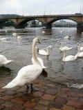 Cygnes sur une rivière photos libres de droits