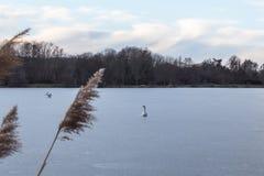 Cygnes un hiver gelé de lac de glace froide photographie stock
