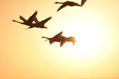 Cygnes volant en ciel Images libres de droits