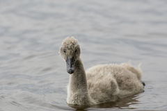 Cygnet. A little Black Swan Cygnet being confident on the water Royalty Free Stock Photo
