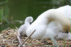 Cygnet. A young cygnet with its mother on its nest Stock Photos